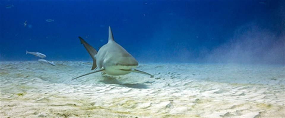 Bull Shark Dive (November to March)