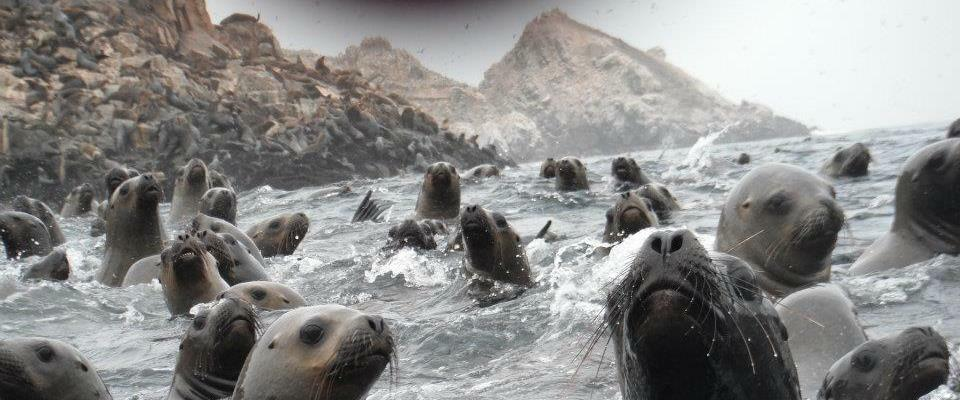 Sea lions at the Palomino islands in Lima Peru