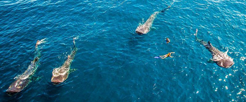 VIP Whale Shark Private Encounter